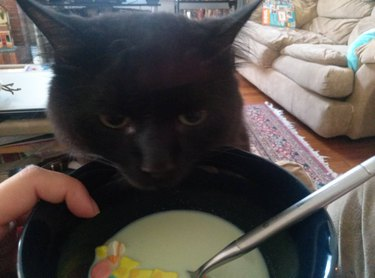 Cat trying to get at breakfast cereal
