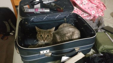 Cat with flattened ears sleeps in luggage