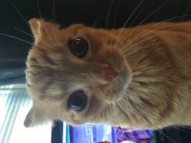 orange kitty with airplane ears
