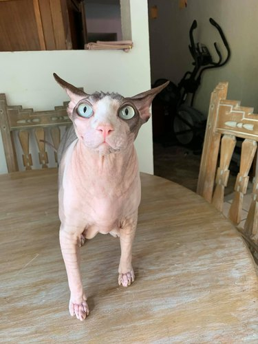 hairless cat with airplane ears