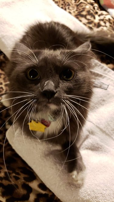 Gray kitty with airplane ears