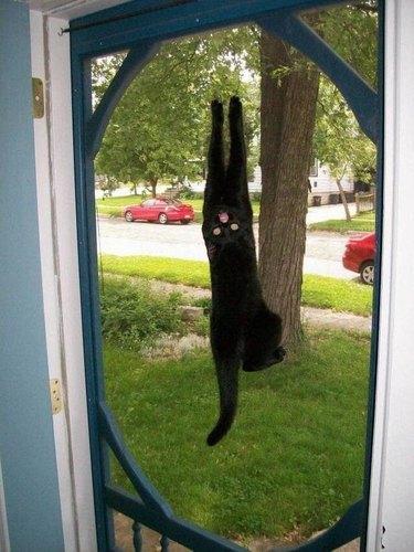 Meowing cat hanging off a screen door.