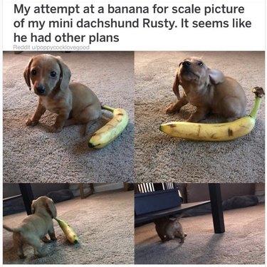 Puppy stole a banana