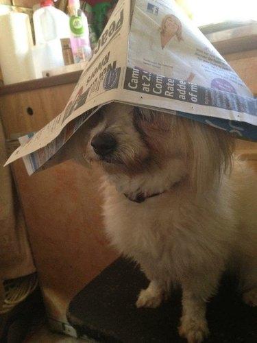 Dog wearing paper captain's hat.