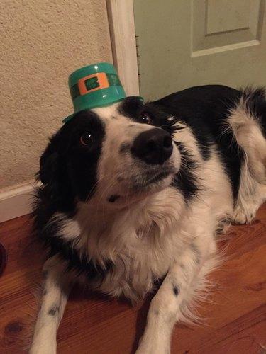 Dog wearing plastic leprechaun hat.