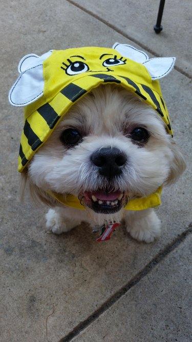 Dog wearing bee hat