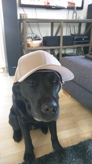 Suspicious dog wearing baseball hat.