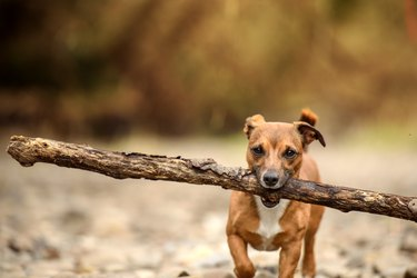 Little Dog, Big Stick