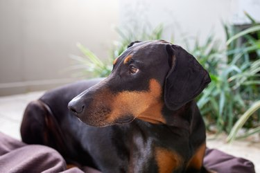 Doberman dog with natural floppy ears