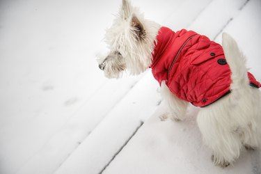 West Highland White Terrier in red down jacket in the snow