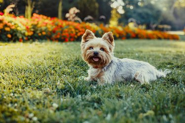 Beautiful Yorkshire Terrier Dog laying on the green grass