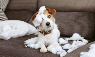 FUNNY DOG MISCHIEF. NAUGHTY JACK RUSSELL HOME ALONE AFTER BITE A PILOW. SEPARATION ANXIETY CONCEPT