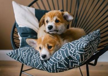 Cute puppies of Welsh Corgi Pembroke lie on pillow in home interior.