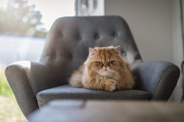 Persian cat lying on a armchair looking grumpy