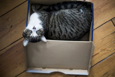 Cute tabby cat in a box