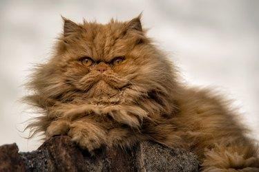 Persian Cat resting
