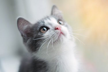 Little gray kitten with white nose