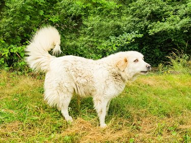 Great Pyrenees Dog Patou on the edge of the forest