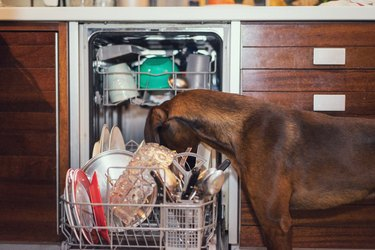 Dog licking the plates in the dishwasher