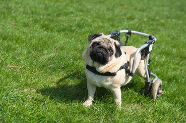 Handicapped dog