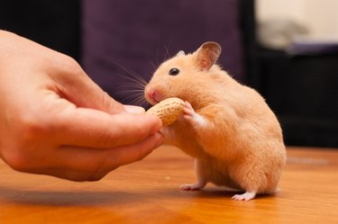 Hamster eating peanut from a hand