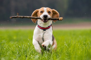 Beagle dog running on a meadow with stick in mouth