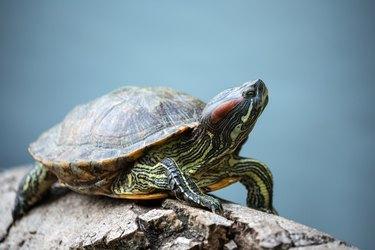 turtle crawl on timber