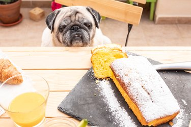 pug looking at dessert on table