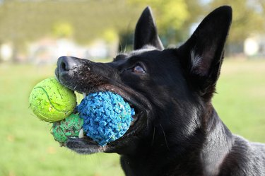 Dog with 3 balls in mouth