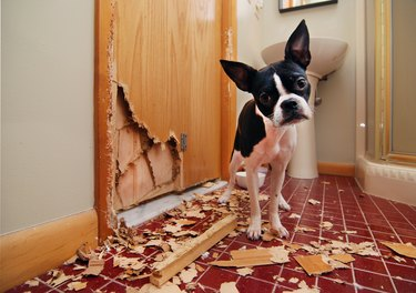 Naughty Boston Terrier