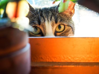 Cat Hiding in Flower Pot Staring With Cat Eyes