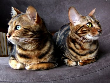 Bengal cat: Two bengals cats sitting looking opposite sides