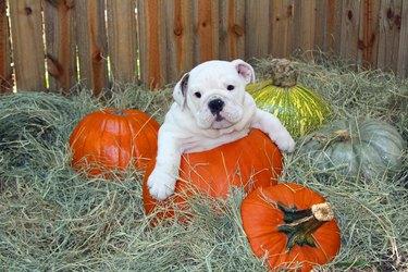 English Bulldog puppy, in holiday halloween pumpkin