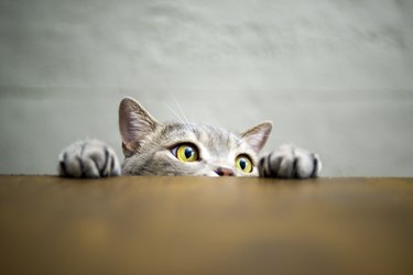 Big-eyed naughty cat showing paws on wooden table