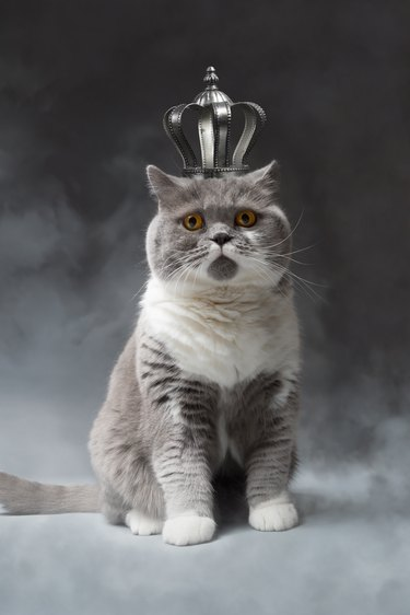 cute cat with silver Crown