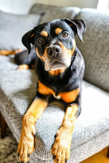 Rottweiler Mix Dog Lounging Indoors on Couch with Head Tilted