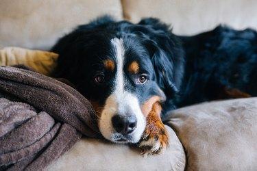 Sad dog, sad dog face, Bernese Mountain Dog, Sadness, Depression