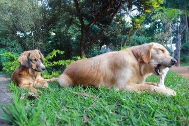 Dogs Relaxing On Grass
