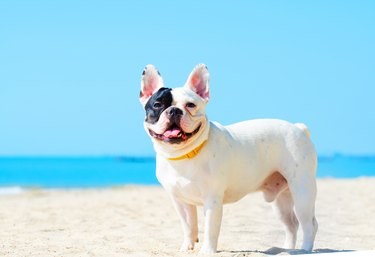 Portrait Of French Bulldog Standing At Beach Against Clear Blue Sky