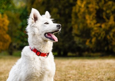 Close-Up Of White Dog Sticking Out Tongue At Park During Autumn