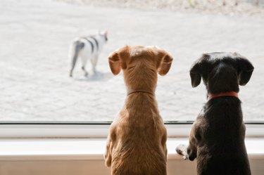 two small dogs watching a cat outside the window