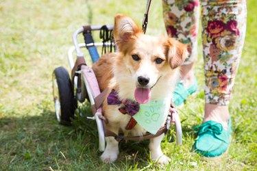 Happy paralyzed dog