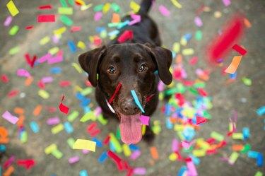 Confetti Falling on Chocolate Labrador Retriever