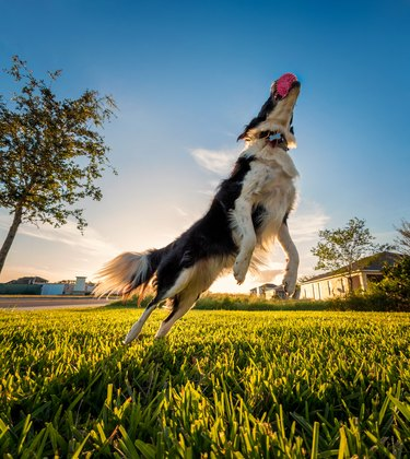 Border Collie leaping after ball with sunset behind him