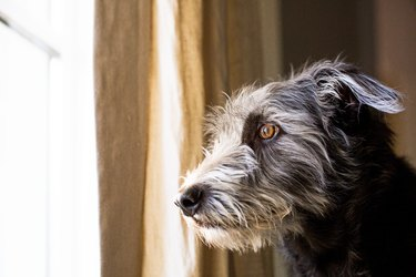 Terrier Dog Looking Out Window