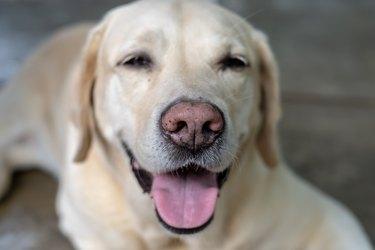 Yellow Lab Smiling