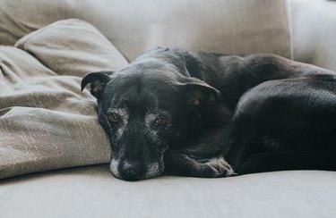 Elderly Dog lying on couch