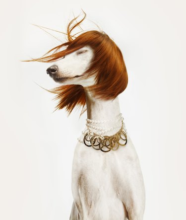 dog with red wig blowing in the wind