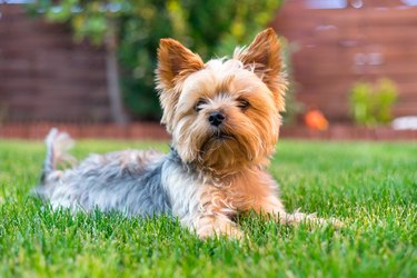 Yorkshire Terrier Dog on the green grass