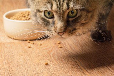 Beautiful fluffy cat sniffs crumbs on the floor. close-up